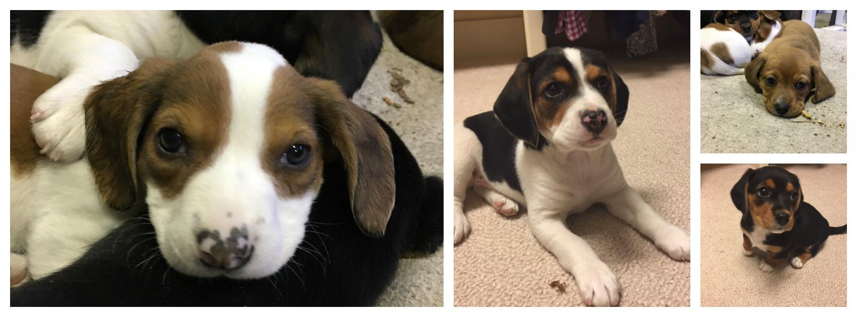 Cute Beagle Collage